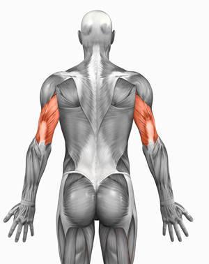 human anatomy triceps