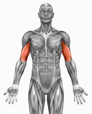 human anatomy biceps